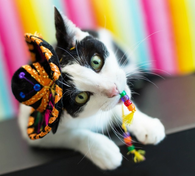 © http://blog.petmeds.com/pet-talk/what-your-cat-wants-to-do-on-cinco-de-mayo/#.VUsDPDdnzL-