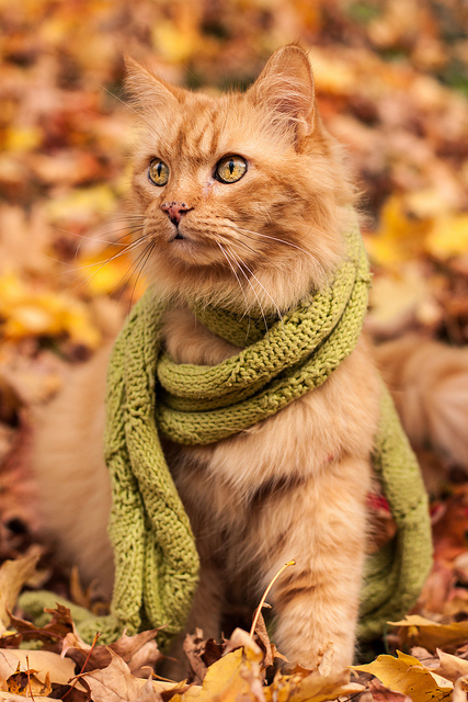 autumn-autumn-fall-leaves-beautiful-cat-Favim.com-632397