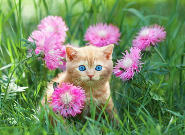 orange-kitten-pink-flowers